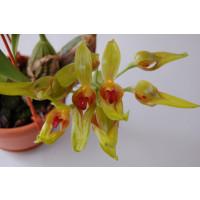 Bulbophyllum graveolens