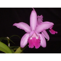 Cattleya intermedia 'flamea'
