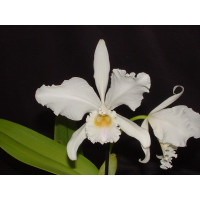 Cattleya warneri 'alba'