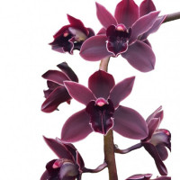 Cymbidium Cali Night