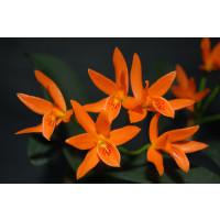 Cattleya aurantiaca 'Miami' (Jgpfl.)