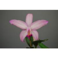 Cattleya aurantiaca x Slc. Mine Gold 'Corona'