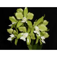 Cattleya guttata 'alba'