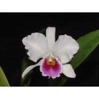 Cattleya percivalliana 'semi-alba'
