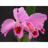 Cattleya percivalliana