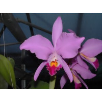 Cattleya warneri SM/DOG