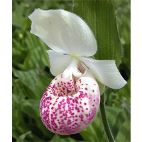 Cypripedium Ulla Silkens