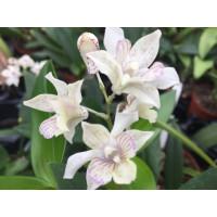 Dendrobium atroviolaceum x D. abberans