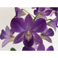 Dendrobium Sa-Nook 'Blue Happiness' (2 Rispen)