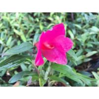 Dendrobium cuthbertsonii x sulawesiense