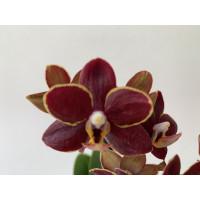 Doritaenopsis Esmee