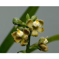 Encyclia maculosa