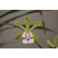 Epidendrum floribundum