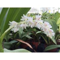 Eria hyacinthoides