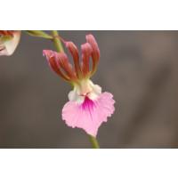 Eulophia guinensis
