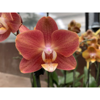Phalaenopsis Horizon