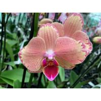 Phalaenopsis Pirate Picotee
