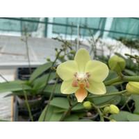 Phalaenopsis Sogo Sunshine (4-5 Rispen)