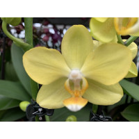 Phalaenopsis La Paz