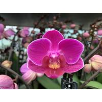 Phalaenopsis Merida