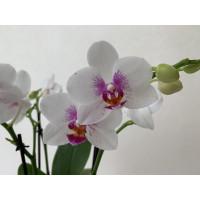 Phalaenopsis Bouguetto Passione