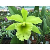 Brassolaeliocattleya Port of Paradise 'Gleneryrie's Green Giant'