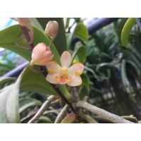 Doritis pulcherrima x Ascocentrum miniatum