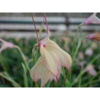 Masdevallia measuresiana (3-4 Blütenstiele)