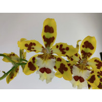 Odontocidium Remember Burkhard Holm