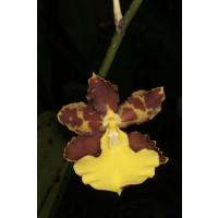 Oncidium hyphaematicum