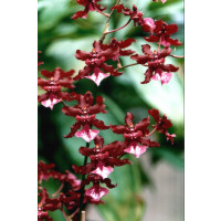 Oncidium Sharry Baby 'Sweet Fragrance' (2 Rispen)