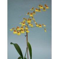 Oncidium Sweet Sugar (Jgpfl.)