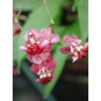 Oncidium Tiny Twinkle 'Red Fantasy'
