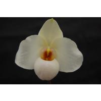 Paphiopedilum Armeni White (Jgpfl.)