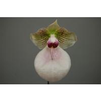Paphiopedilum micranthum x malipoense