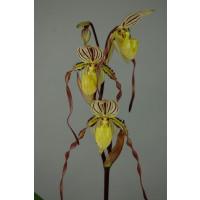 Paphiopedilum philippinense 'roebbelinii'