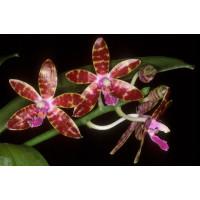 Phalaenopsis bastianii (Jgpfl.)