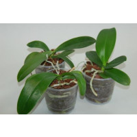 Phalaenopsis-Jungpflanzen-Sortiment