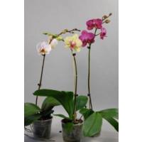 Phalaenopsis-Sortiment (1-2 Rispen)