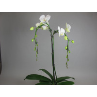 Phalaenopsis White Tree