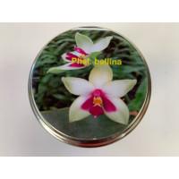 Phalaenopsis bellina (im sterilen Glas)