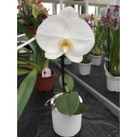 Phalaenopsis Big Singolo 'White' (inkl. Übertopf)