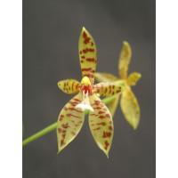 Phalaenopsis cornu-cervi