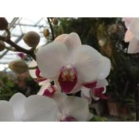 Phalaenopsis Daisy (3 Rispen)