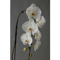 Phalaenopsis Elegant 'Cascade'