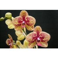 Phalaenopsis Elegant 'Karin Aloha'