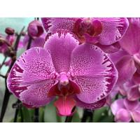 Phalaenopsis Ewelina
