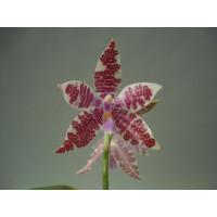 Phalaenopsis hieroglyphica