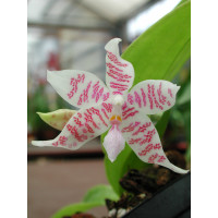 Phalaenopsis hieroglyphica (Jgpf.)