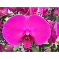 Phalaenopsis Lehnhardt